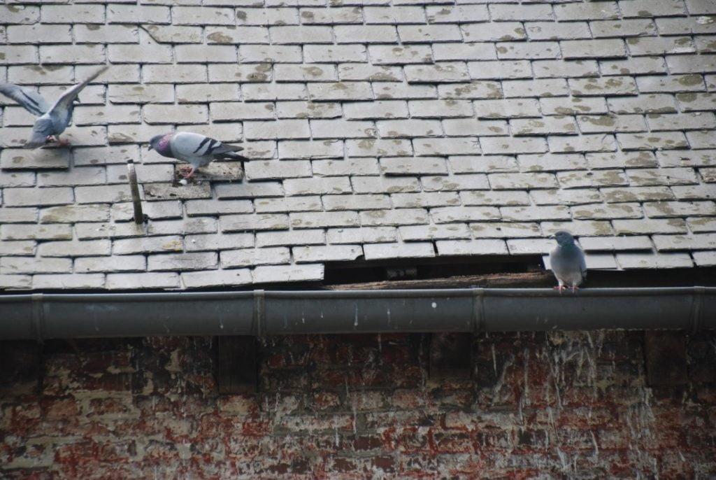 Chapelle-a-oie_pigeons